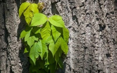 Treating Poison Ivy Rashes the Right Way!